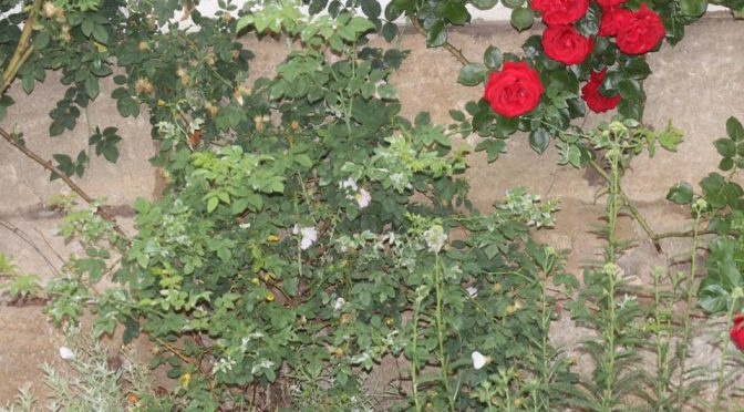 Der Rosenbusch